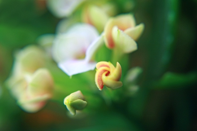 Kalanchoe, Belinda Grace Photography, Botanical Fine art, Flora, Flowers, Quad Cities, Moline Illinois, Bucktown Center for the Arts, MidCoast Fine Arts, The ARTery