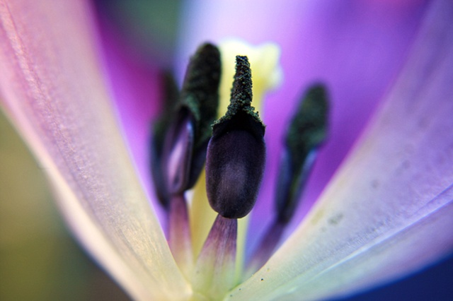 Tulipa, tulip, Belinda Grace Photography, Botanical Fine art, Flora, Flowers, Quad Cities, Moline Illinois, Bucktown Center for the Arts, MidCoast Fine Arts, The ARTery
