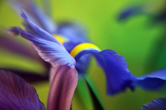 Iris, Belinda Grace Photography, Botanical Fine art, Flora, Flowers, Quad Cities, Moline Illinois, Bucktown Center for the Arts, MidCoast Fine Arts, The ARTery