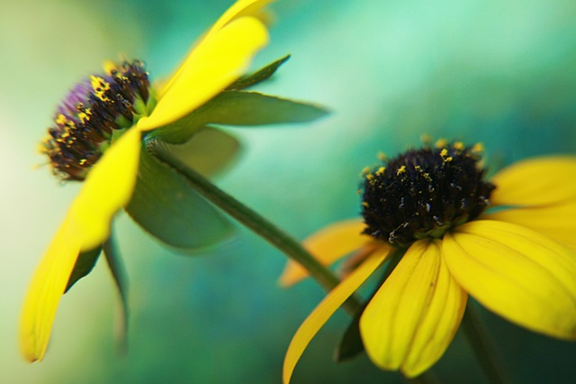 Asteraceae, Compositae, aster, daisy, sunflower, Belinda Grace Photography, Botanical Fine art, Flora, Flowers, Quad Cities, Moline Illinois, Bucktown Center for the Arts, MidCoast Fine Arts, The ARTery