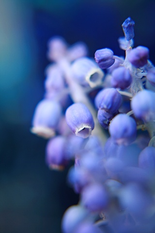 Grape Hyacinth, Muscari, Belinda Grace Photography, Botanical Fine art, Flowers, Quad Cities, Moline Illinois, Bucktown Center for the Arts