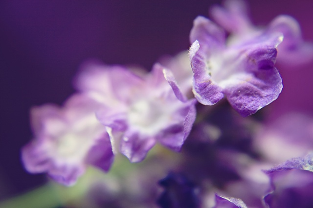 Lavandula, Lavender, Belinda Grace Photography, Botanical Fine art, Flora, Flowers, Quad Cities, Moline Illinois, Bucktown Center for the Arts, MidCoast Fine Arts, The ARTery