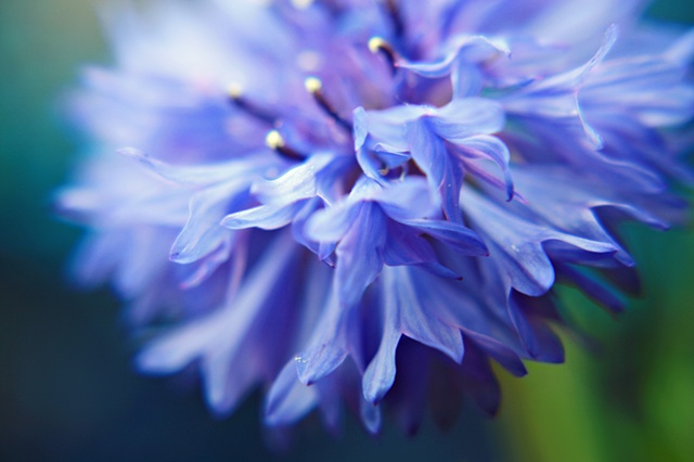 Centaurea cyanus, Cornflower, Bachelor's button, Bluebottle, Boutonniere flower, Hurtsickle, Cyani flower,Belinda Grace photography, Botanical Fine Art, Flora Fine Art, Quad Cities, Moline, Illinois, Bucktown Center for the Arts