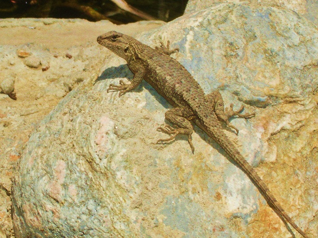 Lizard at Rancho Camulos