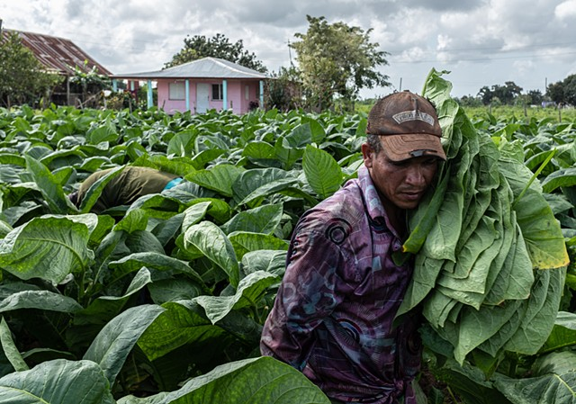 Worker Harvesting Tobacco