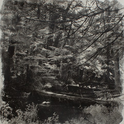 Old Growth 2