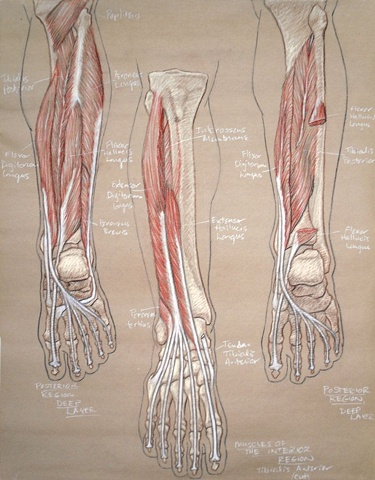 lower leg and foot study
