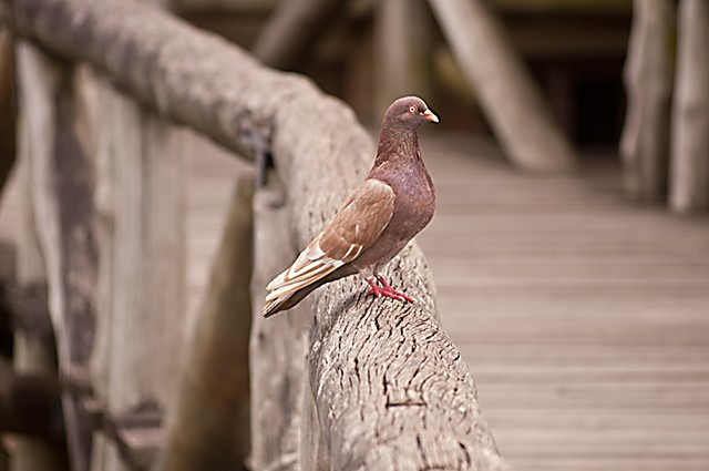 pigeon, brown, nature, browns