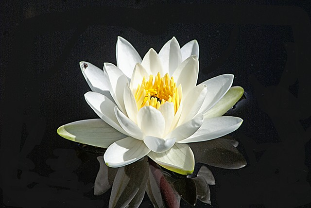 nature, flowers, water lily, pond
