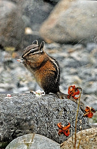 Nature, Chipmunk, encaustics