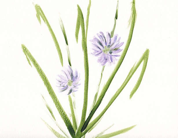 watercolour, flowers, chicory