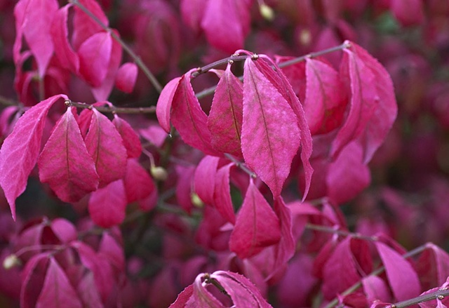 Fall Colours (Unidentified garden shrub)