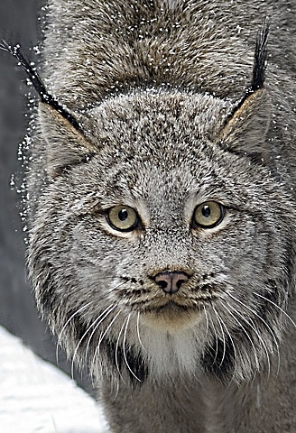 lynx, animal, nature, BC