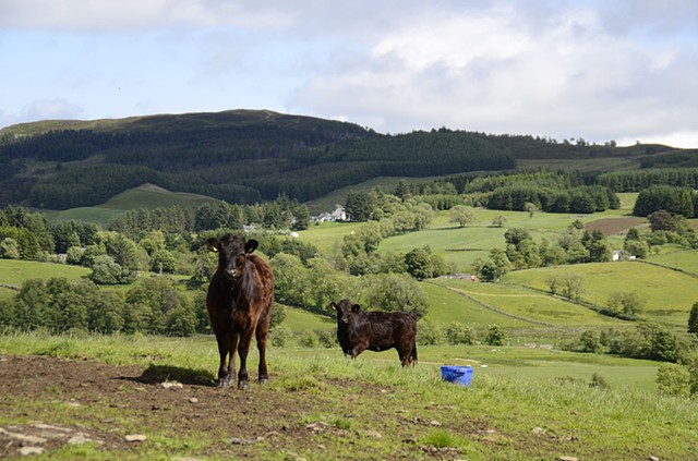 farm, cows, landscape, scotland
