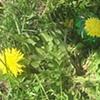 pysanky series: dandelion