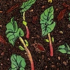 Sprouting Sequoia Beans