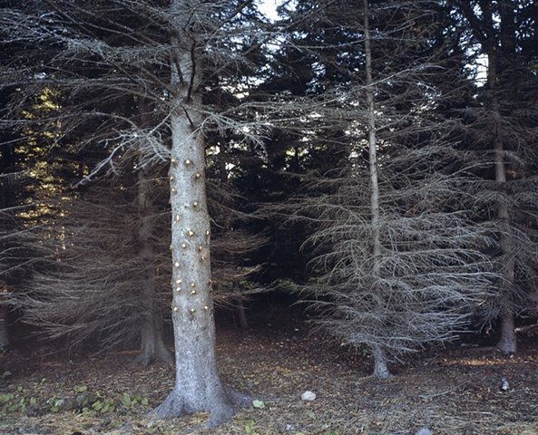 Trimmed Spruce, Near Iona's Beach 2002