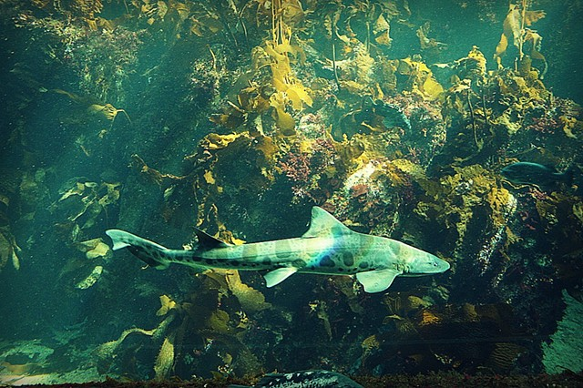 shark, ocean, sea, photo, photography, art, krista glavich, monterey, aquarium