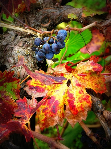 autumn vineyard detail