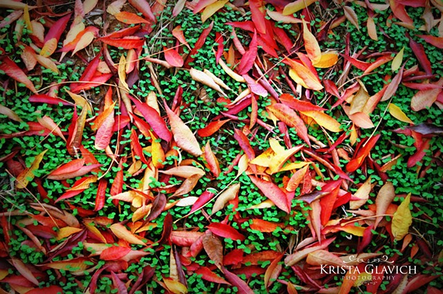 Autumn Pistache Leaves