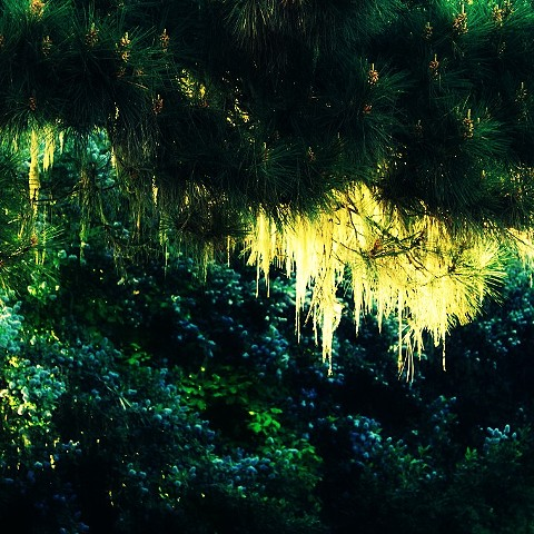 point lobos, tree, moss, photo, photography, art, krista glavich, monterey, carmel
