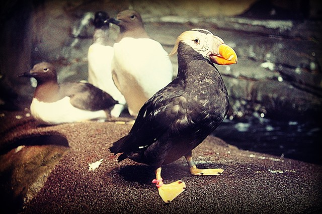 puffin, bird, ocean, sea, photo, photography, art, krista glavich, monterey, aquarium