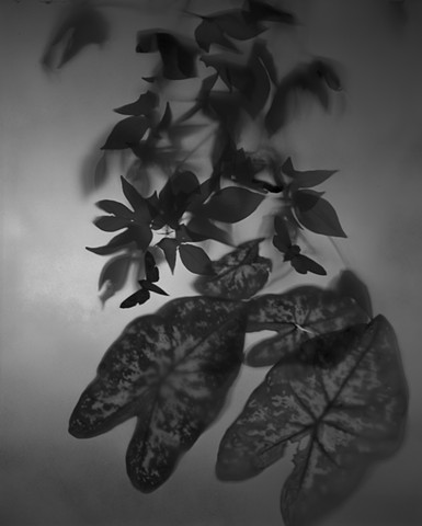 Untitled (Calladium leaves and moths)