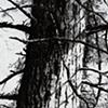 Redwood Series #3