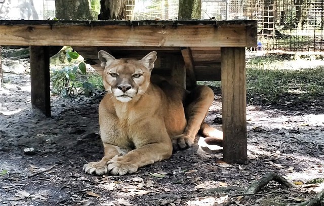 Mickey Cougar Rescue