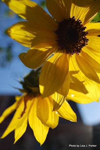 Black-Eyed Susans - Arlington, VA
