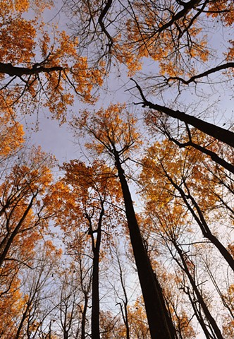 Skyline Drive Tree Canopy In Fall