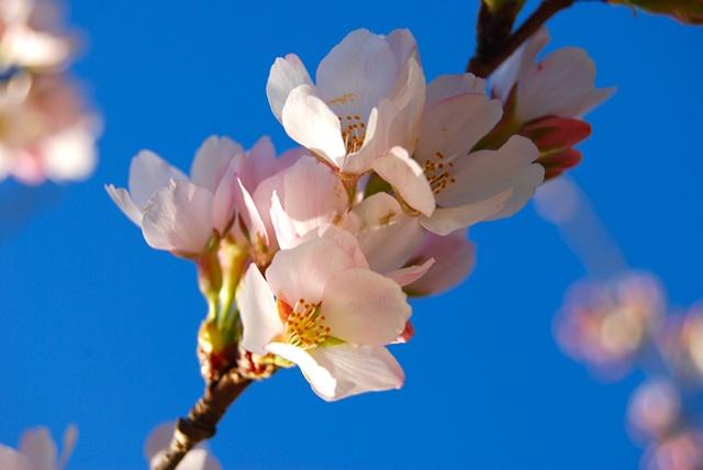 Spring Blossoms - Fairfax, VA