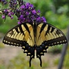 Swallowtail Butterfly - Amelia, VA