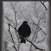 Grackle in Snow