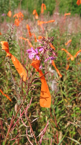 Flagging/Fireweed 3