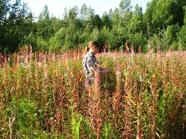 Flagging/Fireweed