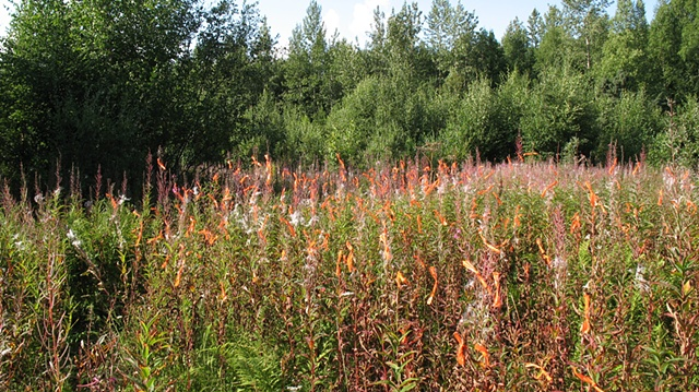 Flagging/Fireweed 4