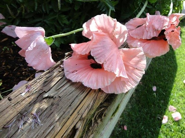 Poppies (Photo)