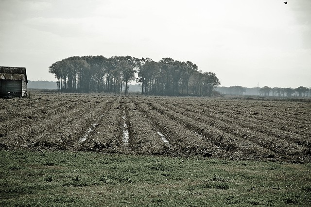 Sugar Cane fields in Winter at St Joseph