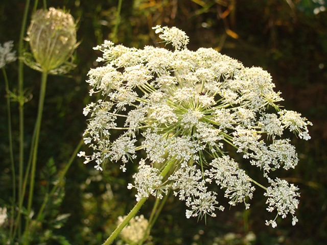 Wild Pantry, Edible Weeds, Food Under Foot, Organic, Ancient Wisdom, Wild Carrot