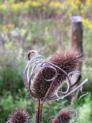 teasel,sheilalynnkart photography, autumn, spiked weeds, thorns