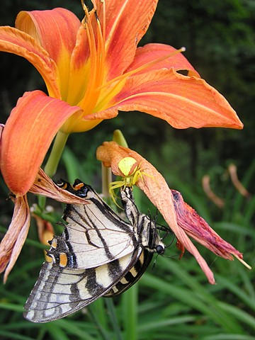 crab spider, day lily, affordable art, Wild Pantry, Edible Wild Food,