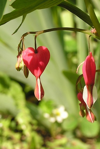 bleeding heart, flowers,