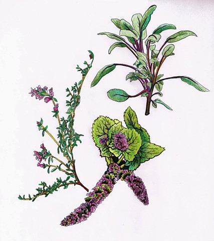 culinary herbs, botanical art