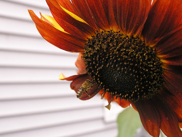 orange sunflower, pollination, bumble bee