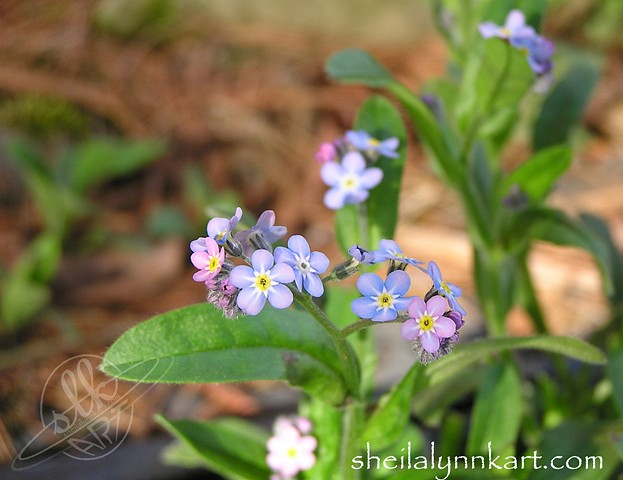 Fine Art Photography, Forget Me Not Flowers, Wild Flowers