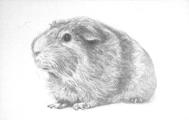 Golden Agouti Guinea Pig