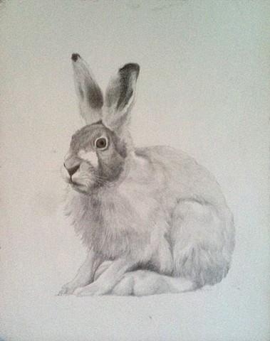 Eurasian Hare