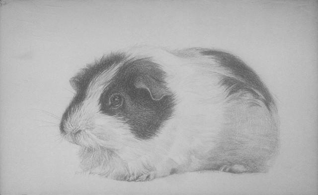 Fluffy the Piebald Guinea Pig