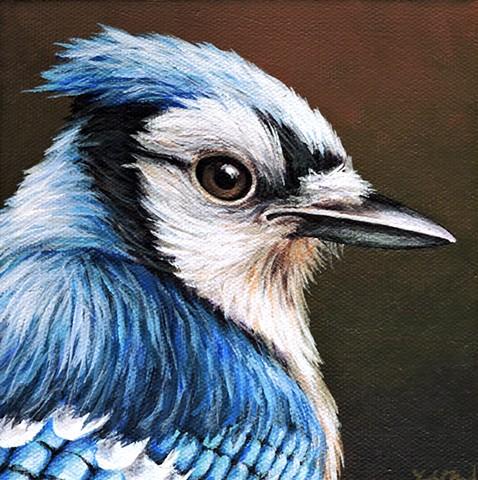 Blue Jay portrait #5
